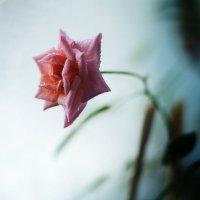 Нежность розы) :: Julia Volkova
