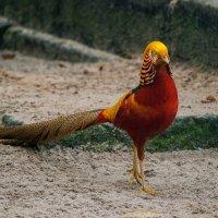 Золотой фазан  (самец) :: Valentina M.