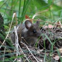 Мышка нарушка.. :: Алексей Цветков