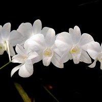 Орхидея. :: Надя Кушнир