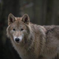 Полярный волк. Хитрый взгляд. :: Владимир Колесников