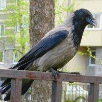 Сердитая ворона :: Вера Щукина