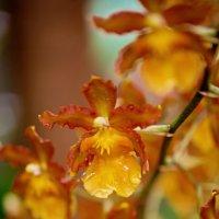 Орхидея. :: Сергей Басов