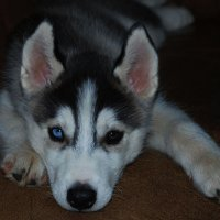 Разноглазого щенка Хаски выбрал сам сын. История об этом в комментариях. :: Лара Гамильтон