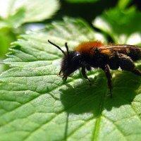 Пчёлка и её тень. :: оля san-alondra