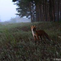 Встреча с рыжей. Тамбовский лес. :: Сергей