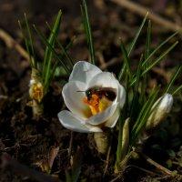 Пчела и шафран :: Павел Руденко