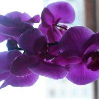 орхидея :: Любовь Сорокина