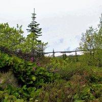 Цветёт бадан в горах :: Сергей Чиняев
