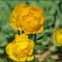 Чем не розы... :: Светлана