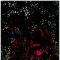 Грёзы розы :: Нина Корешкова