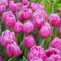 Тюльпаны - буря весны. :: Татьяна Помогалова