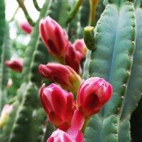 Все цветы красивы от рождения! И кактуса цветы достойны восхищения! :: Лара Гамильтон