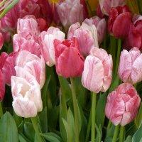 Так грациозны, так божественно милы...Непревзойдённо выглядят тюльпаны... :: Galina Leskova