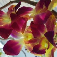 Орхидея :: Ирина