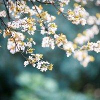 Сакуры зацвели, весна пришла. :: Pavel Shardyko