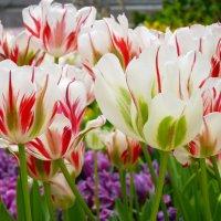 Тюльпаны, белые тюльпаны! началомартовский парад… :: Galina Leskova