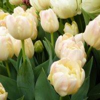 тюльпаны....неуловимый невинно-свежий аромат.... :: Galina Leskova