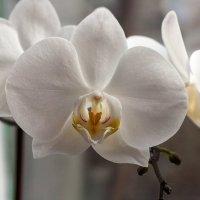 Дикая орхидея :: shabof