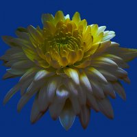 Хризантемы 5 по фото laana ladas :: Владимир Хатмулин