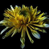 Хризантемы 1 по фото laana ladas :: Владимир Хатмулин