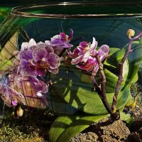 орхидея за стеклом :: Александр Корчемный
