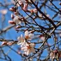 Весна пришла - миндаль зацвел! :: Светлана