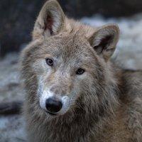 Портрет полярного волка :: Владимир Колесников