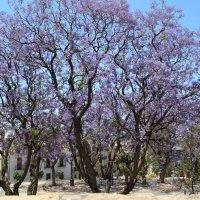 Сиреневые деревья :: Наталья