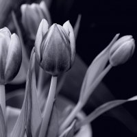 О тюльпанах... :: Валерия  Полещикова