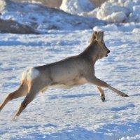 Мчится по мартовскому снегу... :: Геннадий Ячменев