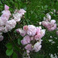 Английские розы :: Марина Домосилецкая