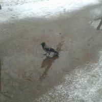 Ворона :: Сапсан