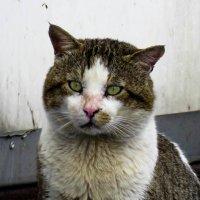 Кот разбойник) :: Николай Волков