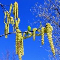 Весеннее цветение деревьев :: Leonid Tabakov
