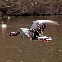Пролетая над озером :: Alexander Andronik