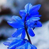 Цветы весны. :: Любовь К.