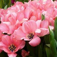 Давно меж листьев налились истомой розовой тюльпаны... :: Galina Leskova