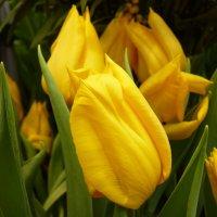 Дарите жёлтые тюльпаны ,превращая серость будней в сказку!!! :: Galina Leskova