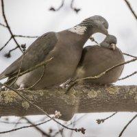 Любовь и голуби :: Лада