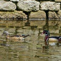 """Она: """"Не слишком ли я быстро плыву?"""" (Весна, пруд в парке Торонто, Канада) :: Юрий Поляков"""