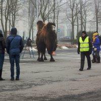 Верблюд на улице :: Aнна Зарубина