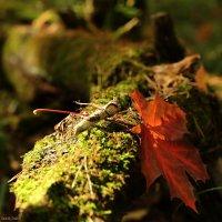 Рыжий лист кленовый :: Анатолий Шулков