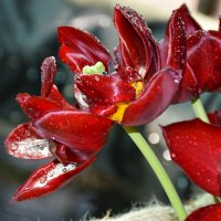 Тюльпаны :: Катерина Клаура