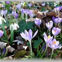 """""""Весне прекрасной Соткать не трудно за ночь Ковер цветочный..."""" :: Galina Dzubina"""