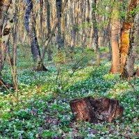 В весеннем лесу. :: Vladimir Lisunov