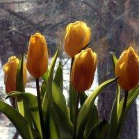 Весна, тюльпанам не до сна :: veilins veilins