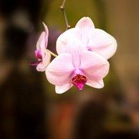 Погибающая орхидея! Кто поможет? :: Валерий Лазарев