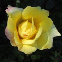 Роза жёлтая,роза чайная аромата необычайного. :: Galaelina ***