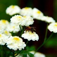 Пчёлка :: Ula57 Семёнова